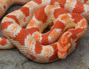 Whats the difference between an albino corn snake and a ...