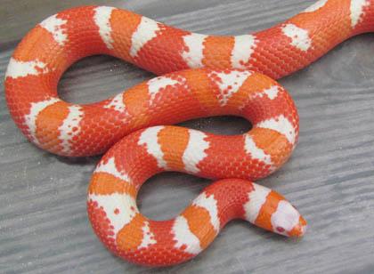 Image Gallery honduran milk snake