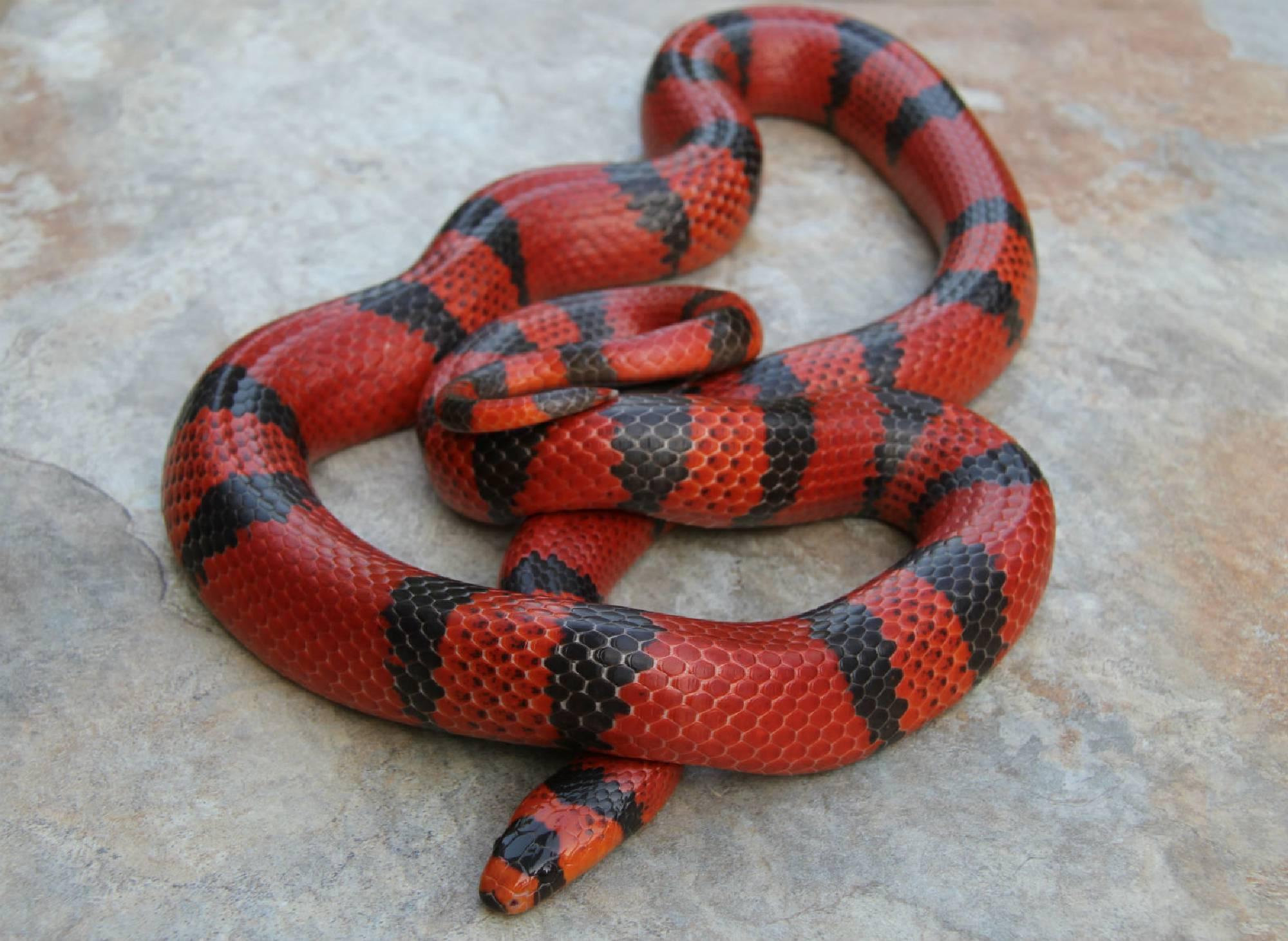 Mexican Black Kingsnake Lampropeltis getula nigrita 20 available 24900 Radiated Rat Snake Elaphe radiata CB 2018 Inquire Nelsons Milksnake Lampropeltis