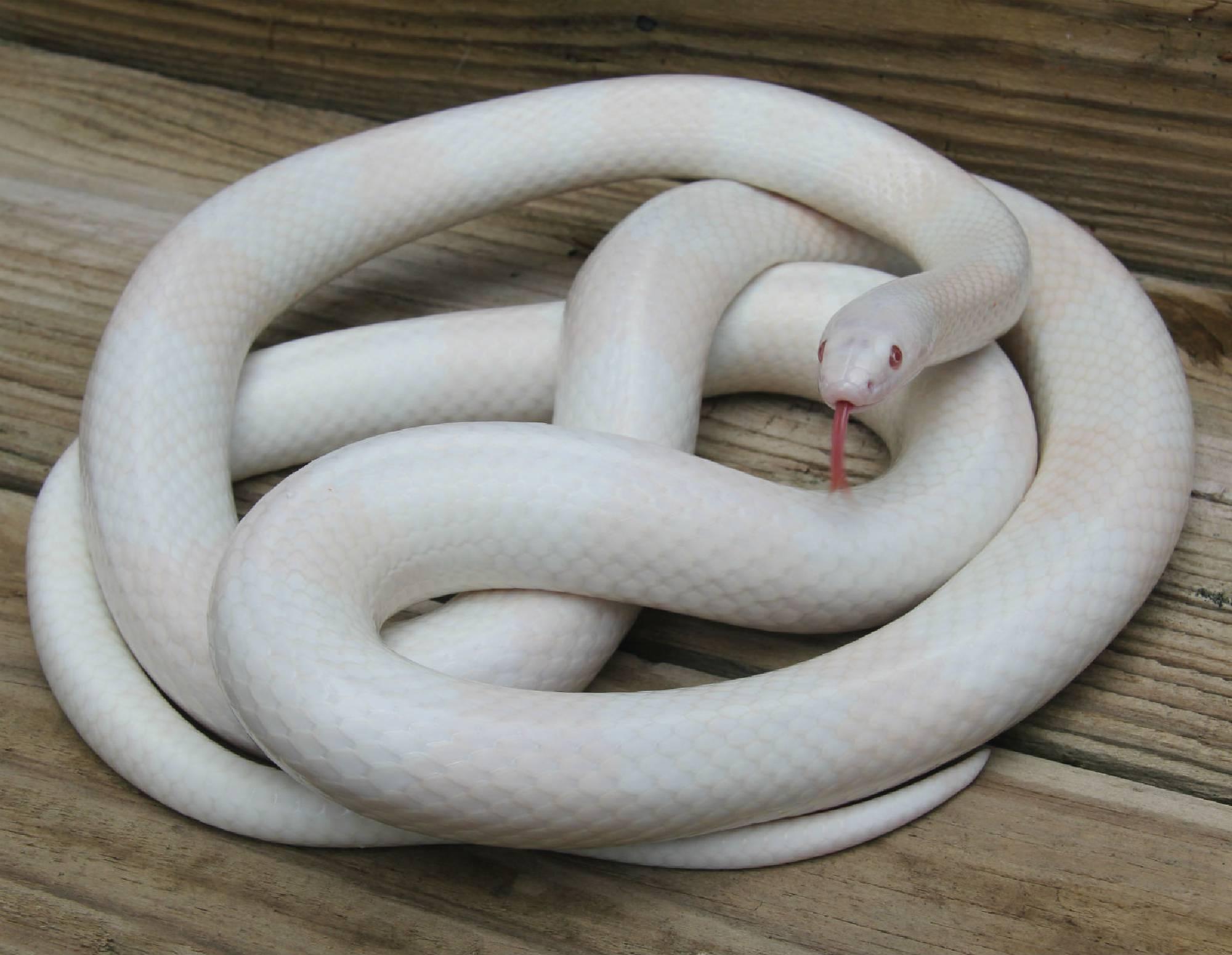 Adult Snow Honduran Milk Snake