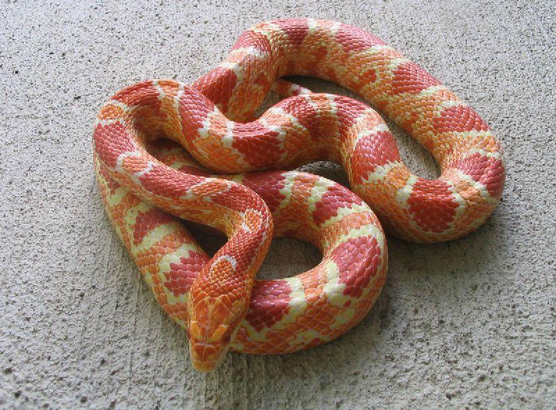 Kingsnakecom Classifieds Corn Snake Classifieds