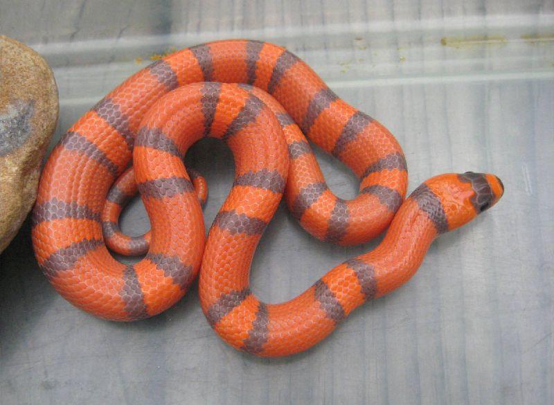Three month old Hypomelanistic Honduran Milk Snake