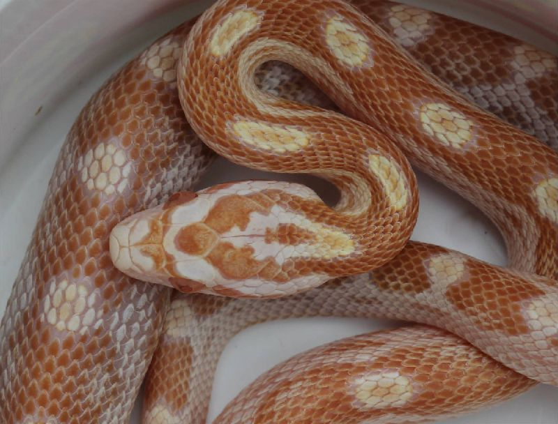 to see my Butter Corn Snake Photo Gallery