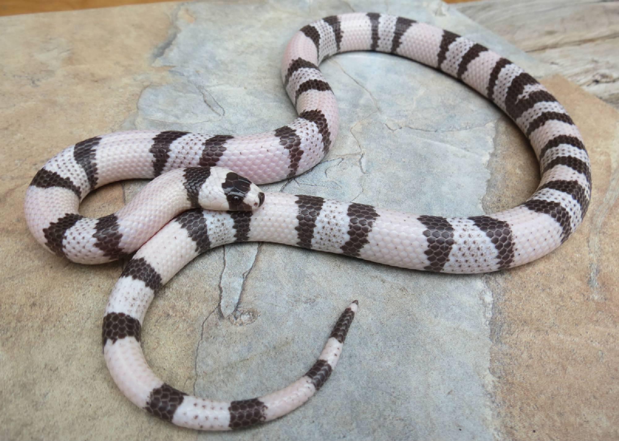 adult milk snake