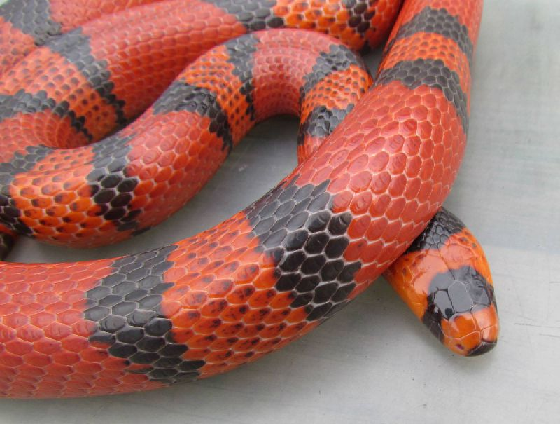 gallery photo posted by SteveRay Welcome to kingsnakecoms Kingsnake Classifieds This section is for posting wanted and for sale advertisements for any and all