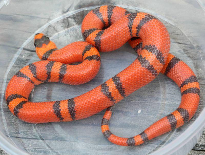 hypo tangerine milk snake - 800×607