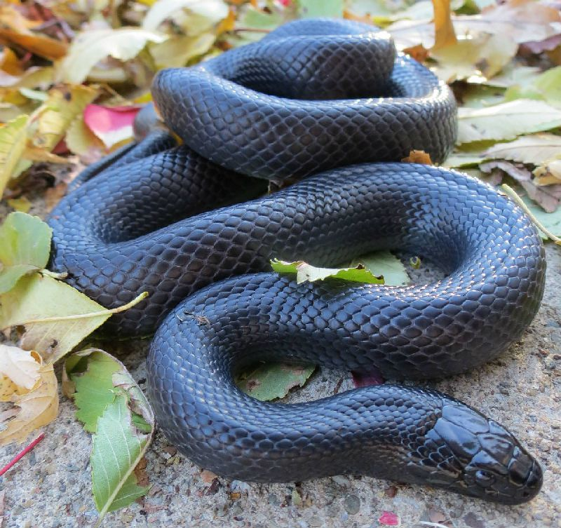 Mexican black kingsnake teeth