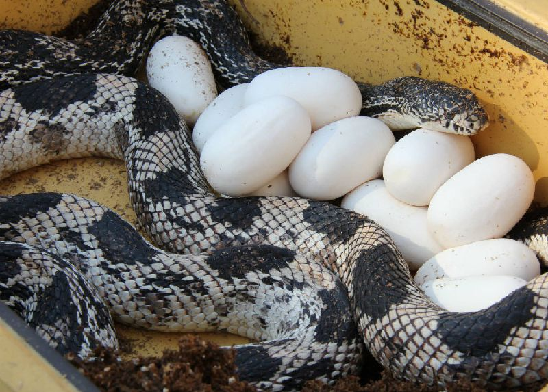My Northern Pine Snake Photo Gallery