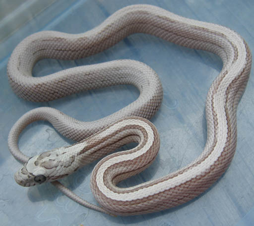 Images of Snow Striped Corn Snake - #rock-cafe