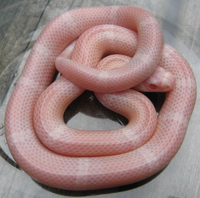 Pictures of Milk Snake Baby - #rock-cafe