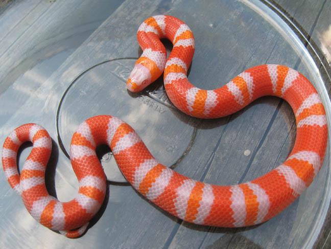 Click here to see an Albino Honduran Milk Snake