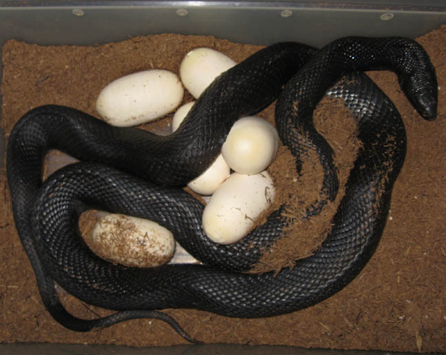 black snake eggs wwwpixsharkcom images galleries