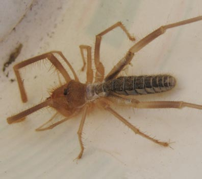 biggest camel spider in world. Sun Spider