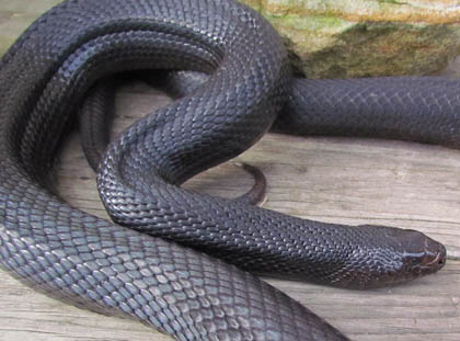 Third Eye - Black Pine Snake Page