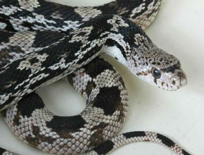 Third Eye Herp Pine Snake Page
