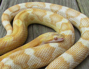 Motley Corn Snake