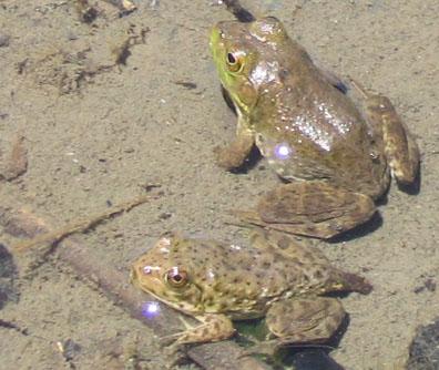Bullfrog Essay