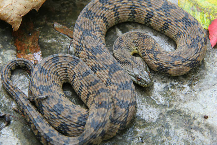 how to say eastern diamondback rattlesbake in french