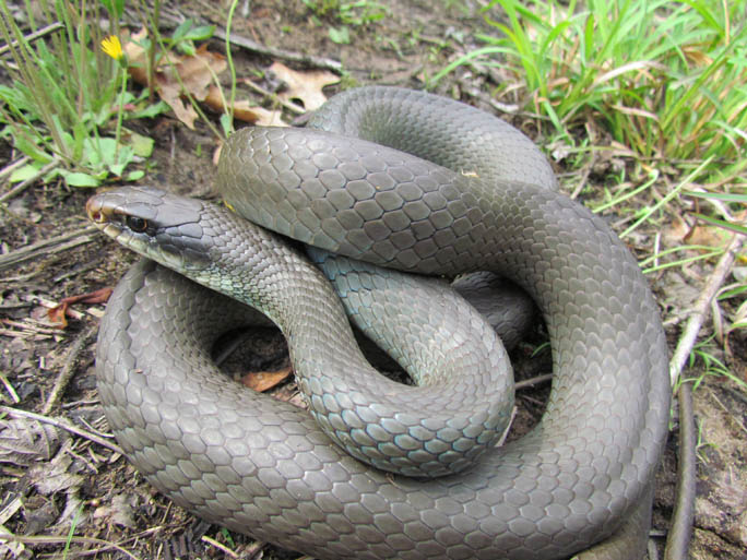 Click Here To See Another Photo Of This Snake