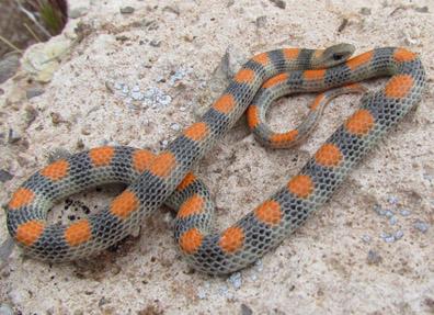 Ground Snake.